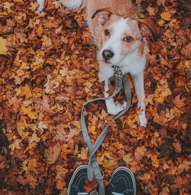 Dog looking up at owner from autumn leaves